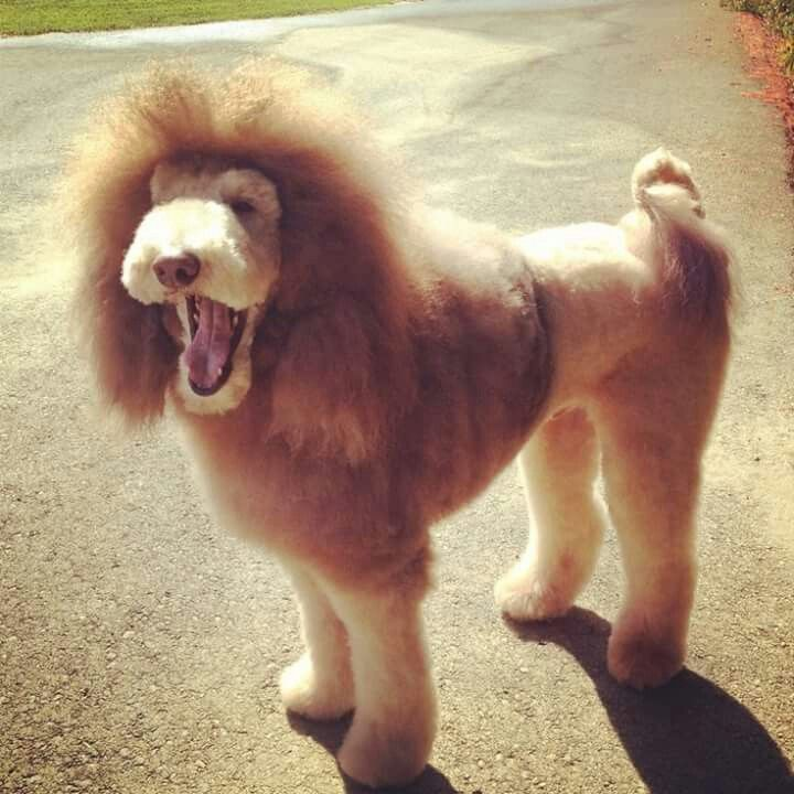 Dog Shaved Like A Lion Pictures