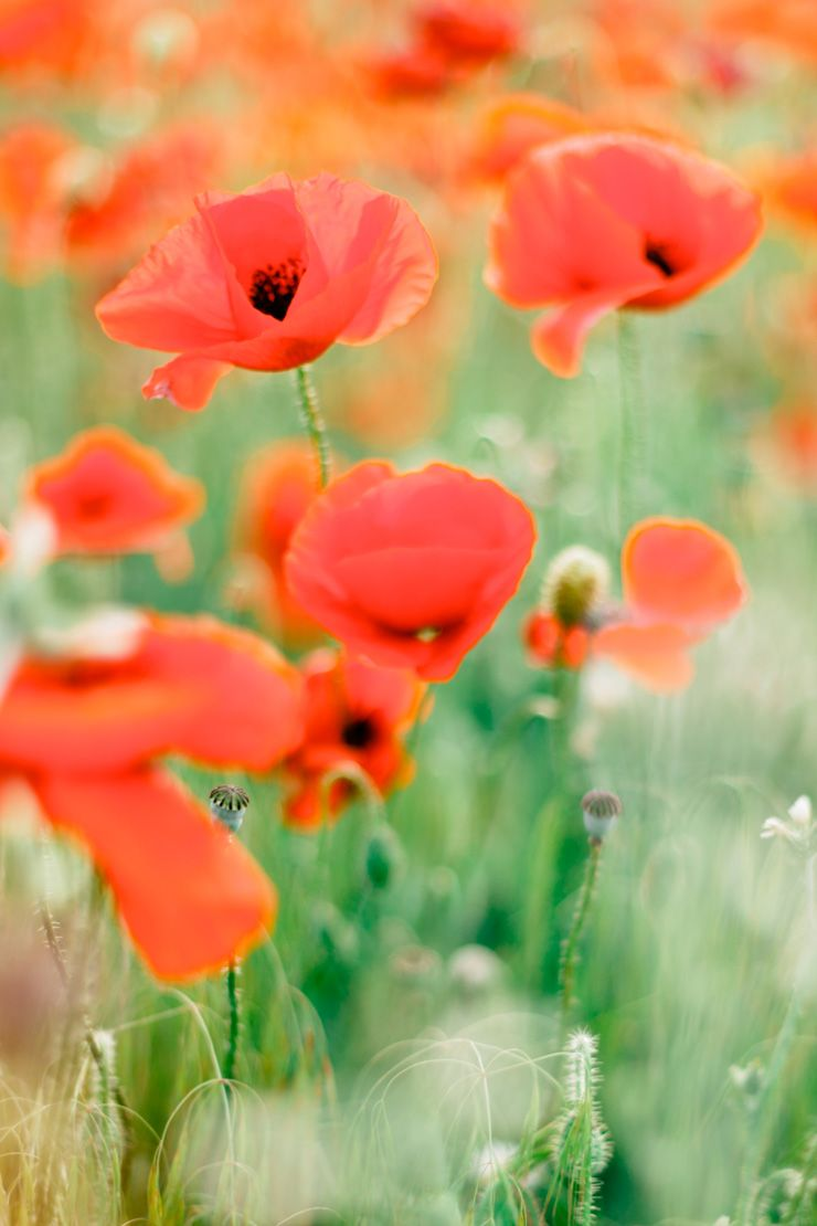 Poppy field | fabmood.com