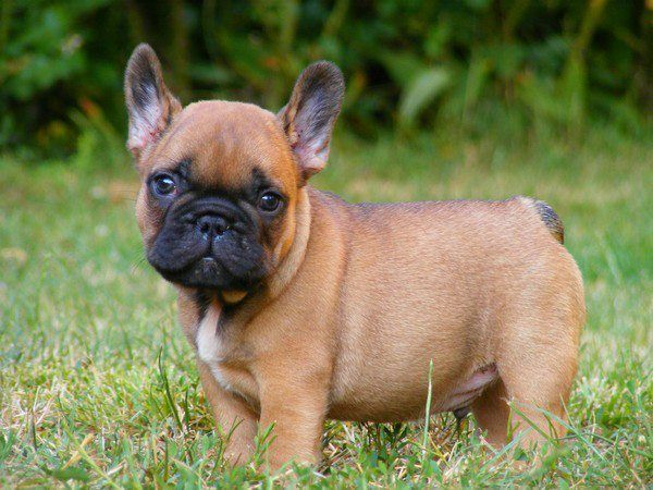 Le Bouledogue Français | Chiot | Pinterest | French