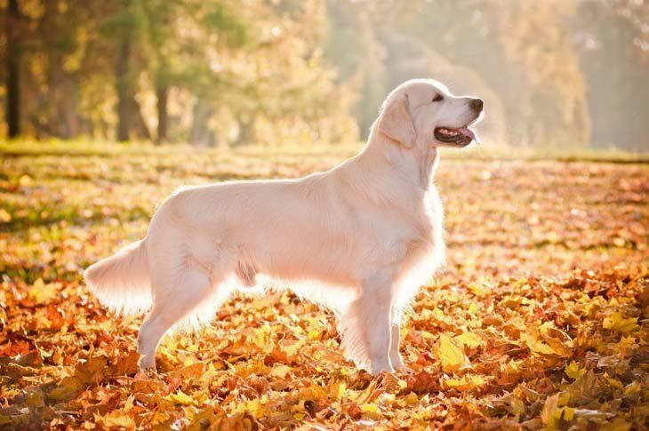 These Pictures Of Golden Retriever Truly Are Beautiful Golden