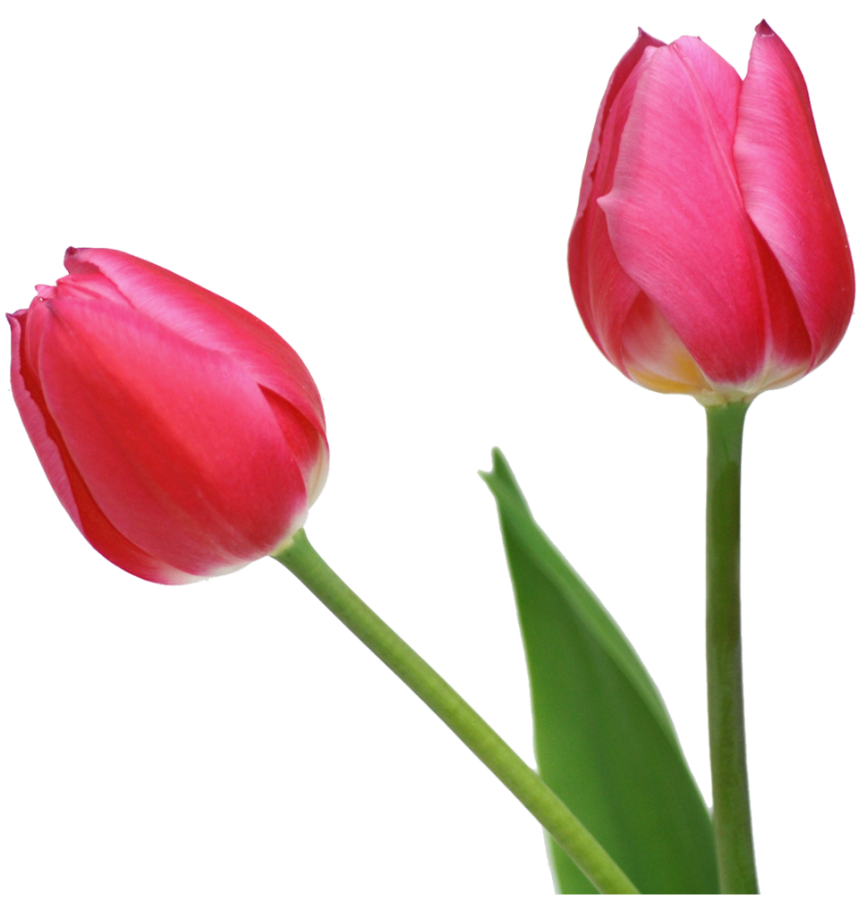 Transparent Tulips PNG Flowers Clipart Spring clipart