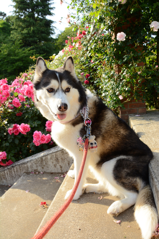 Siberian Husky Adoption Maryland