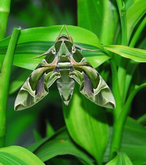 Green Moth / Polilla
