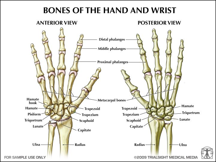 Human Hand Bones Anatomy References For Artists Anatomy And