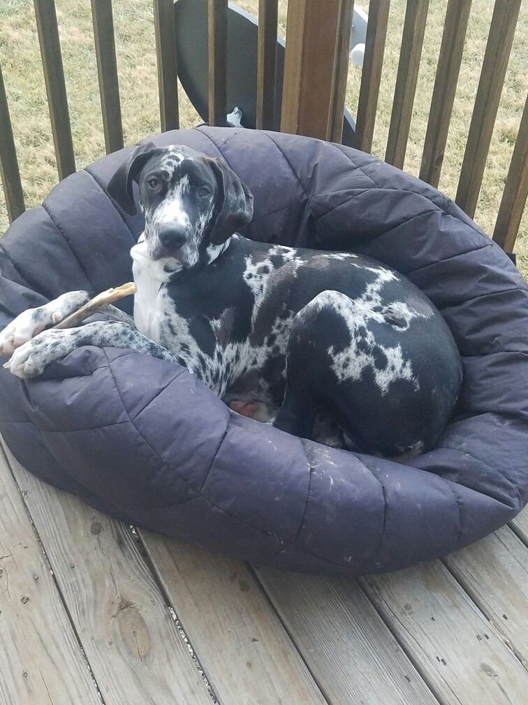 Terrific 6 1 2 Month Old Great Dane He Loves His Beanbag Greatdane Pabps2019 Chair Design Images Pabps2019Com