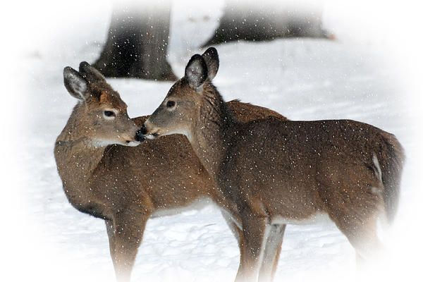 Tender Sentiment Christmas Art by Christina Rollo. A moment of tender sentiment between two White-Tailed Deer (Odocoileus virginianus), rubbing noses in winter with snow, a great holiday greeting card or seasonal wall art.