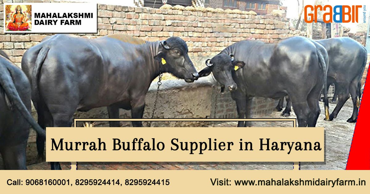 Murrah buffalo is a species of pet buffalo that is reared