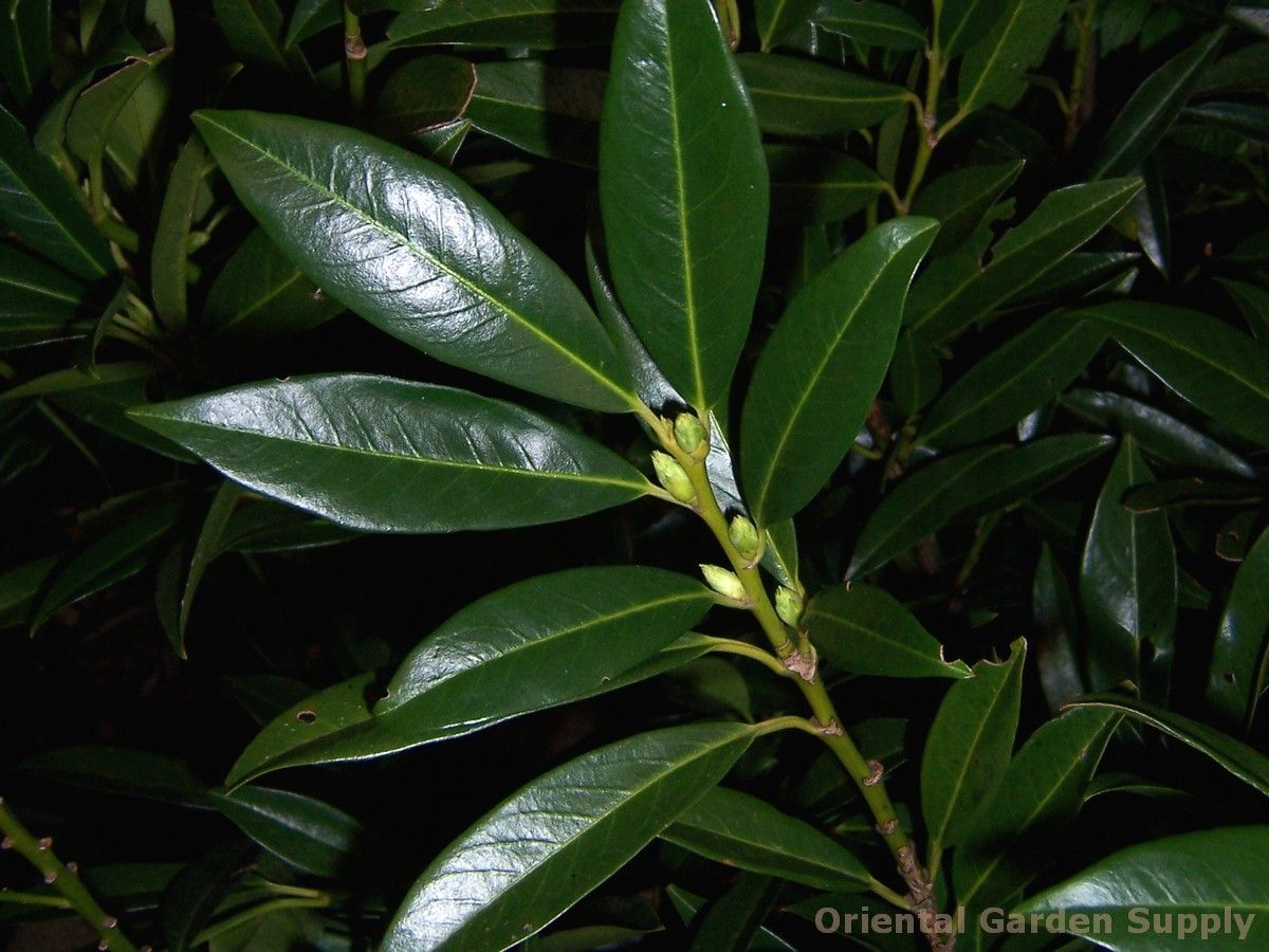 prunus laurocerasus 'otto luyken' - oriental garden supply
