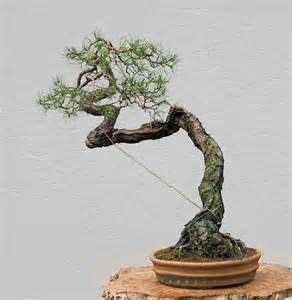 waterer scots pine bonsai - - Yahoo Image Search Results
