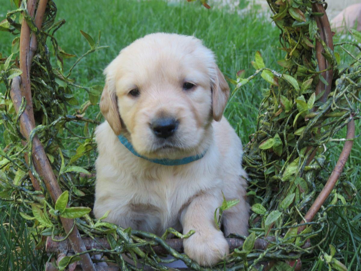Akc Golden Retriever Puppies Golden retriever, Retriever