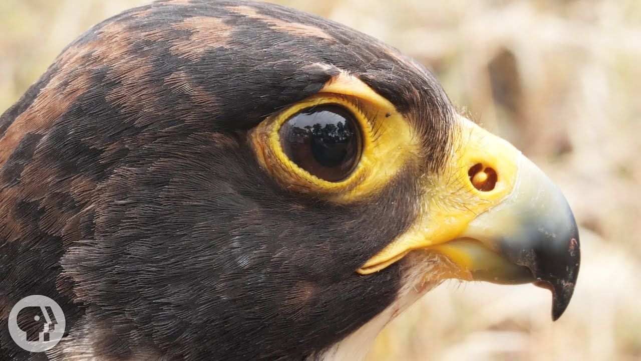 Peregrine Falcons Are Feathered Fighter Jets Basically Deep Look Youtube In 2020 Peregrine Falcon Peregrine Falcons