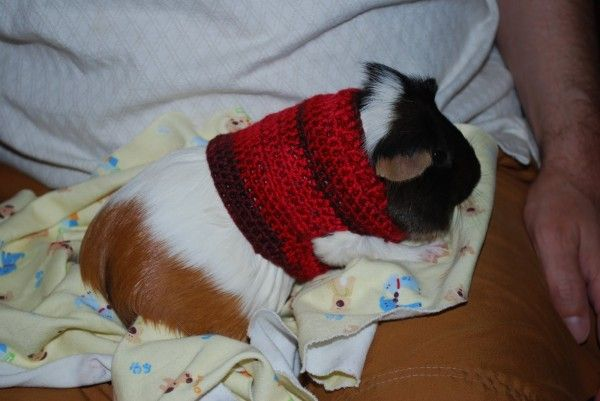 #Crochet guinea pig sweater free pattern *** Beautiful FREE Crochet Pattern...