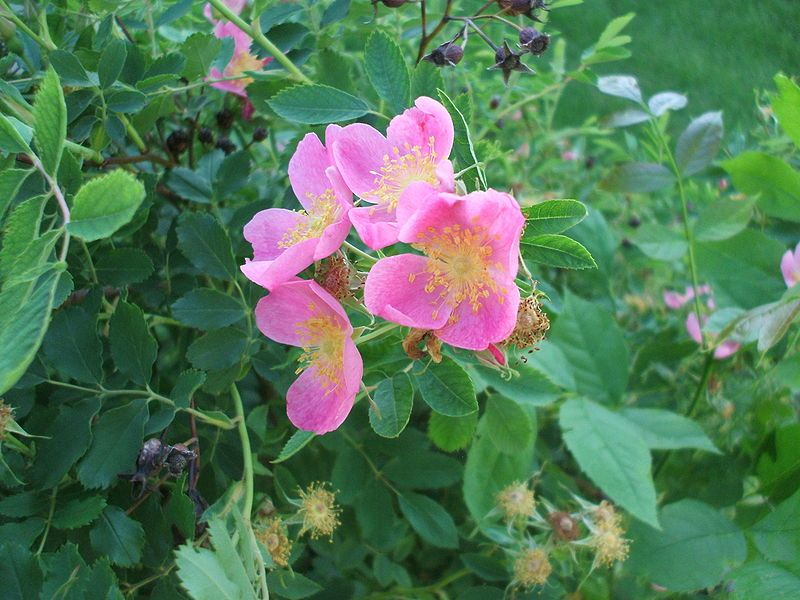 Rosa Arkansana Prairie Rose Or Wild Prairie Rose Is A Species Of