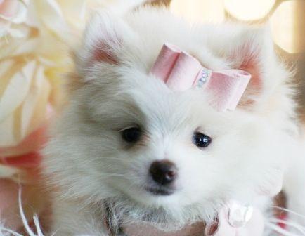 White Pomeranians #teacuppomeranianpuppy