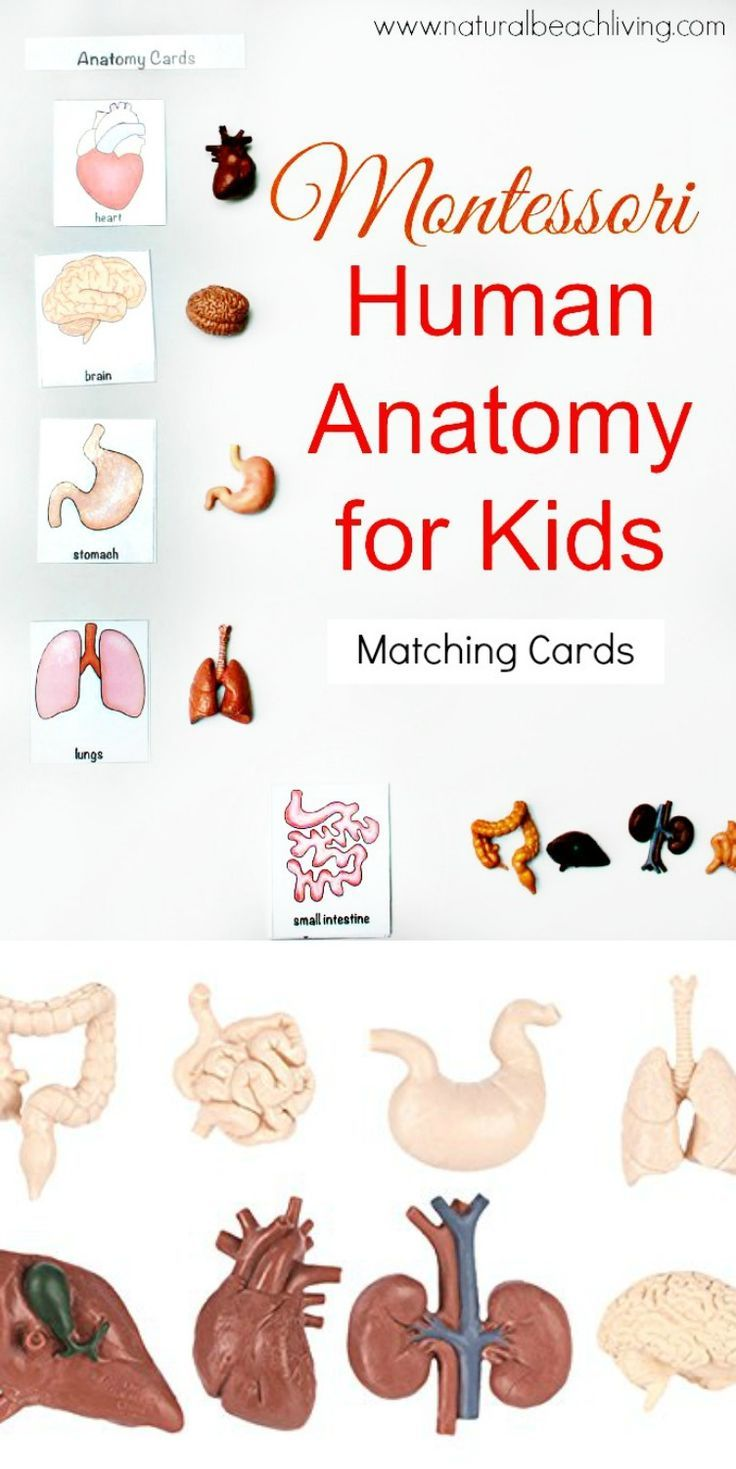 Montessori Human Anatomy Activities (Free Printables | Human anatomy ...