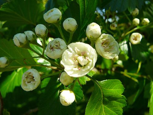 Crataegus Mordenensis Snowbird Hawthorn Flowering Trees Memorial Garden White Flowers