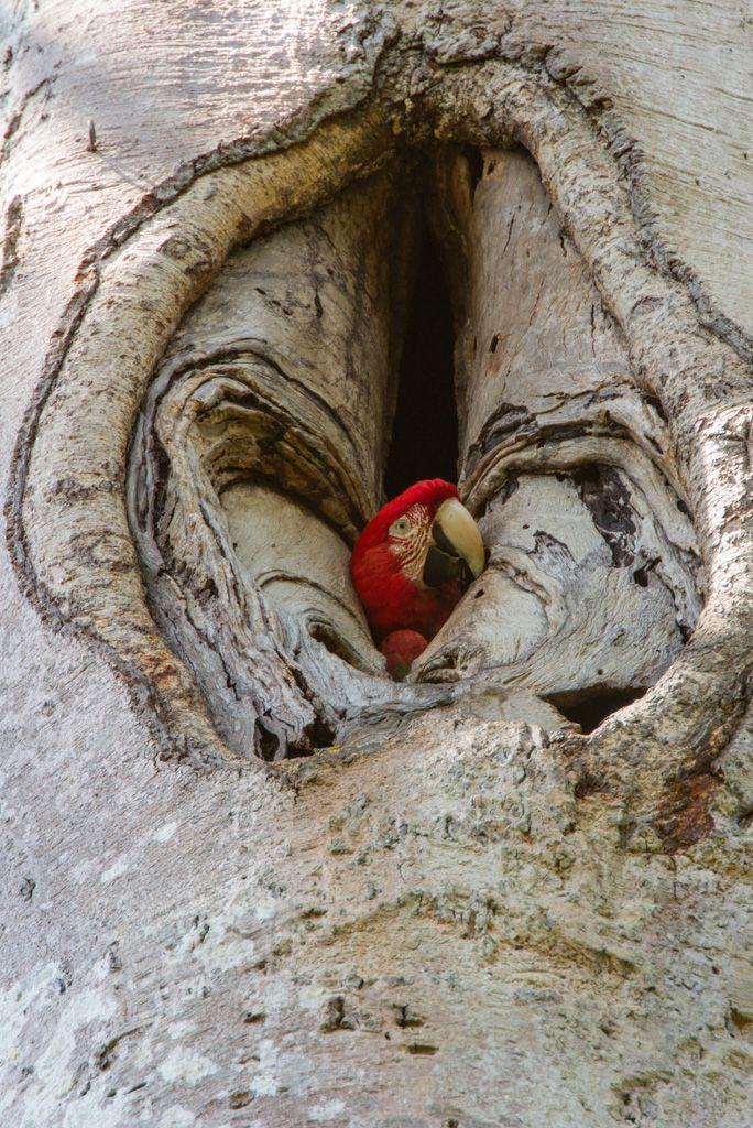 Guacamaya bandera / Scarlet Macaw (Ara macao). Lucas M. BUSTAMANTE