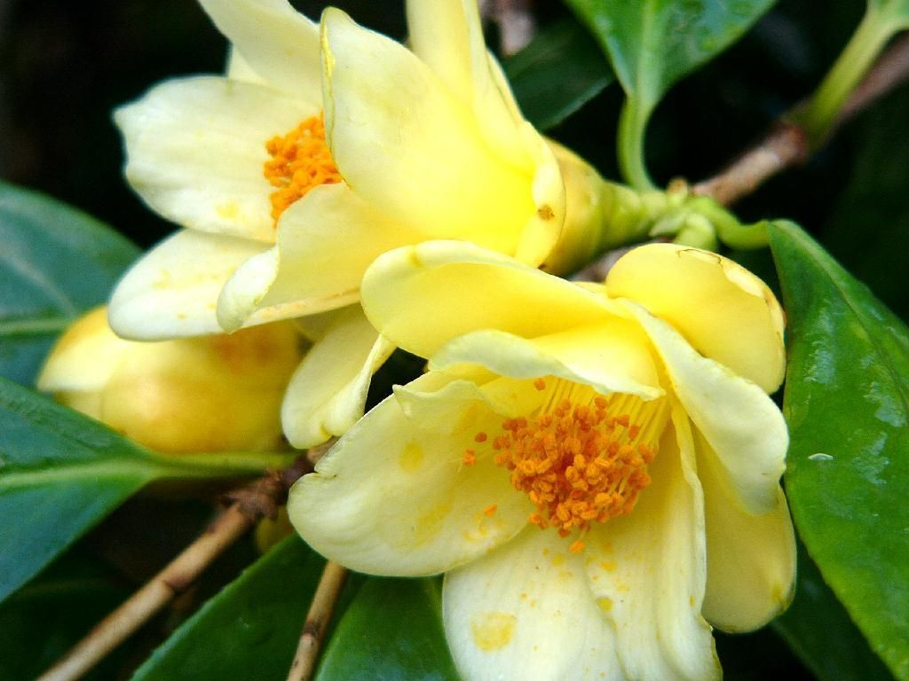Yellow Camellia Flowers Japanese Flower Meanings Japanese Flowers Camellia