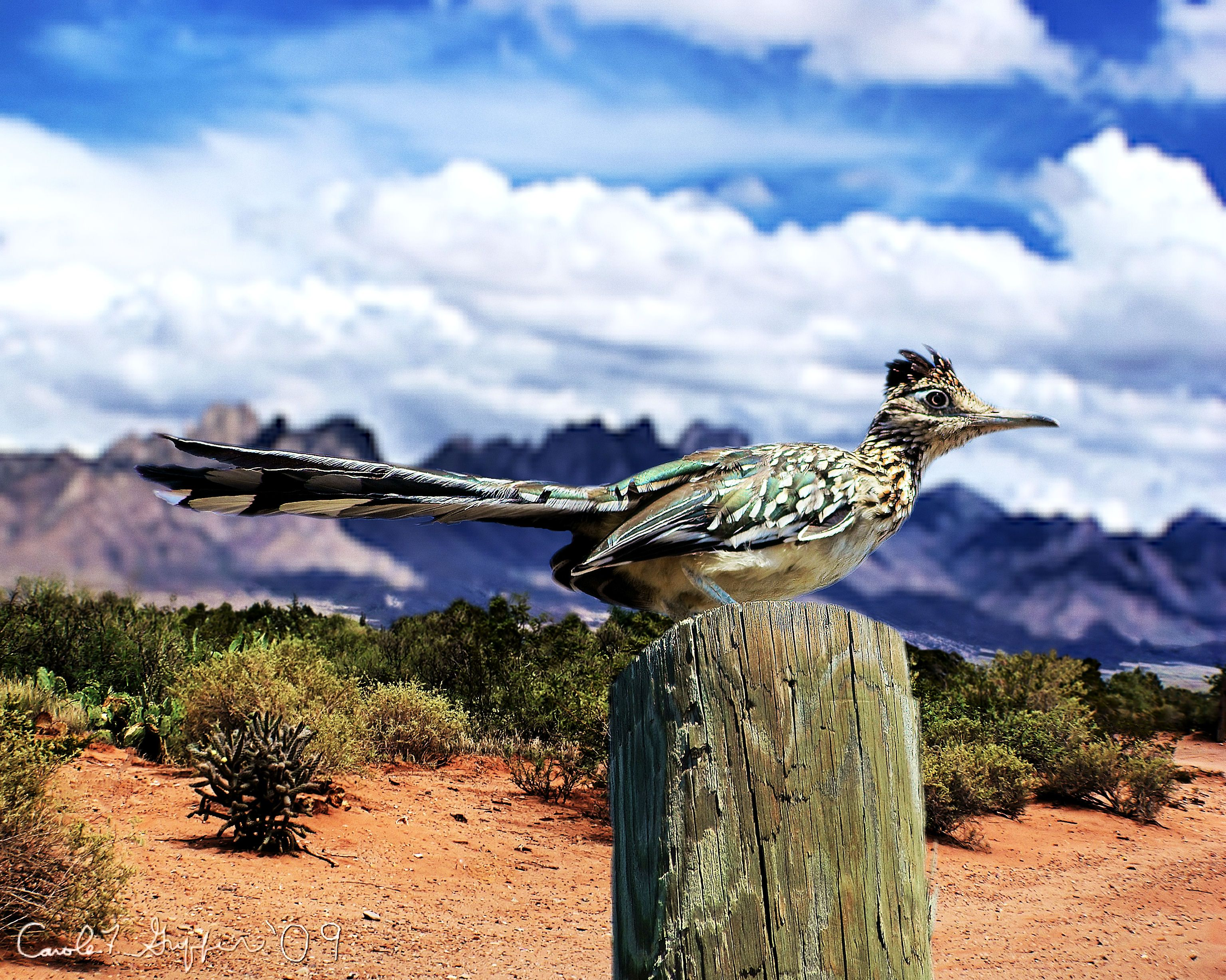 Roadrunner, the State bird of New Mexico!