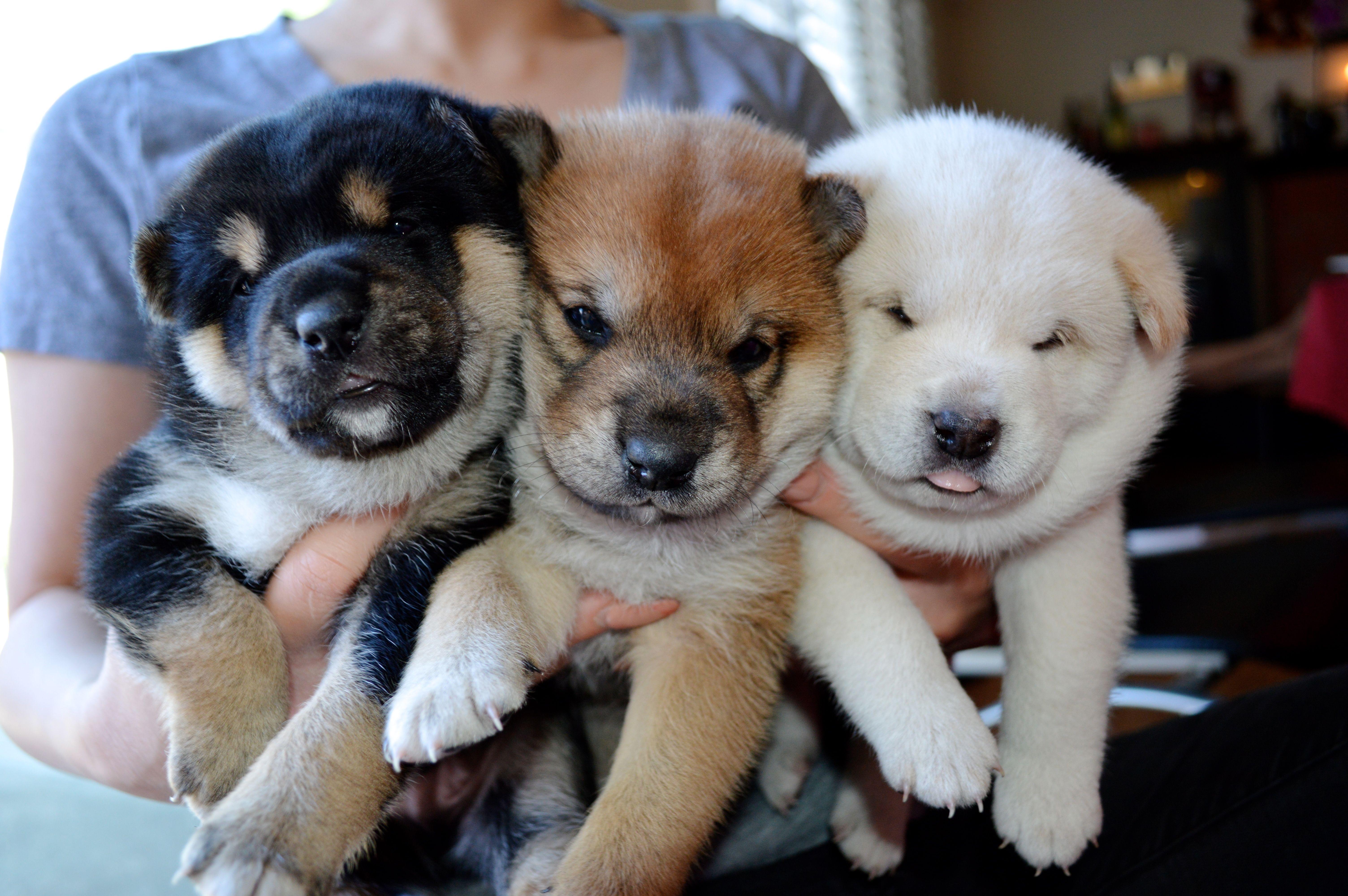 Adorable Animals おしゃれまとめの人気アイデア Pinterest Priscilla Tran 可愛い 動物 柴犬 柴犬 子犬
