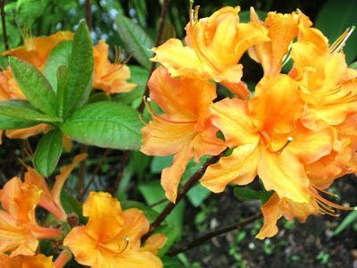 Revontuliatsalea; Leena Lumi: Leena Lumi's Flower Power