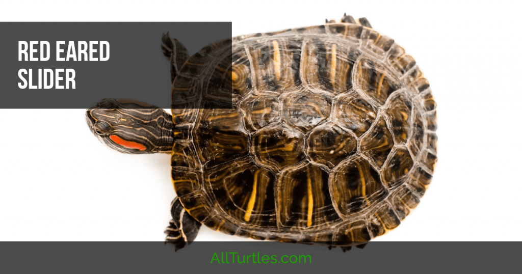 Red Ear Slider care Red eared slider turtle, Red eared