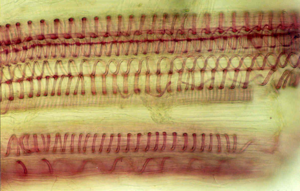 © Ana Cristina da Silva Figueiredo   A Hístoquímíca estuda a química dos seres vivos à escala microscópica. Como tal, baseia-se num aspecto morfológico, o de localizar a substância em estudo, e num aspecto químico, o da determinação da natureza dessa substância. A imagem ilustra a identificação de lenhina em vasos condutores xilémicos, recorrendo à coloração com o reagente de Floroglucinol, que reage com paredes lenhificadas dando cor vermelha em meio ácido.