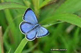 「蝶 ルリシジミ」の画像検索結果