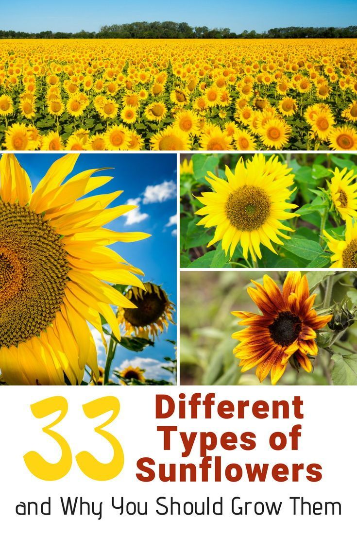 33 Different Types of Sunflowers and Why You Should Grow Them is part of Types of sunflowers, Sunflower garden, When to plant sunflowers, Sunflower flower, Sunflower, Yellow sunflower - Get to know more of this amazing flower and find even more reasons why they should be planted in your garden
