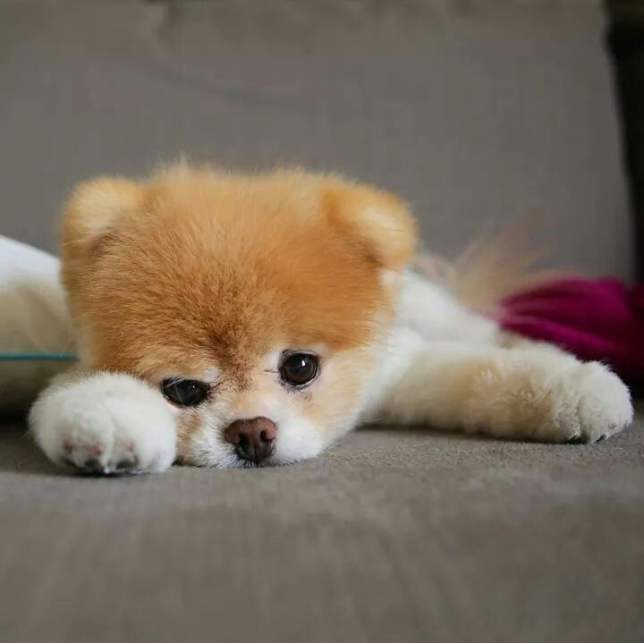 Hello Love Boo The Dog Boo The Cutest Dog Pretty Animals