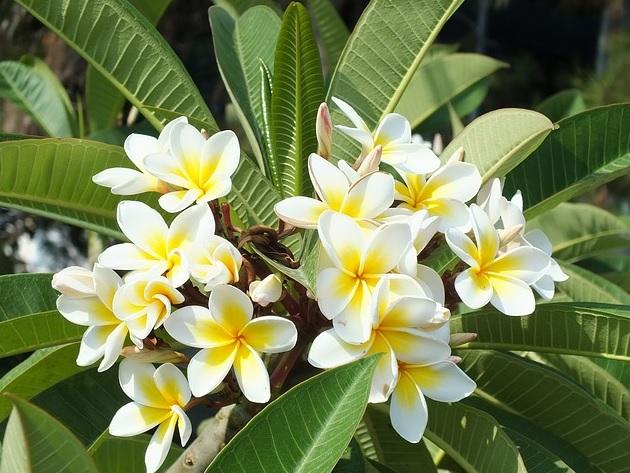 Gambar Taman Bunga Kamboja Ideku Unik