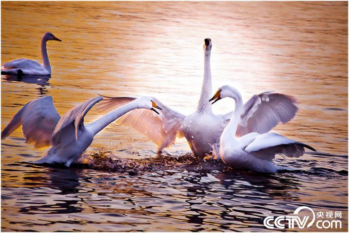河南三门峡:白天鹅的幸福生活_图片频道_央视网(cctv.com)