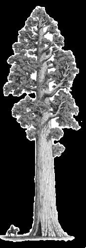 Image Result For Sequoia Tree Sketch Redwood Tree Sequoia Tree Sequoia