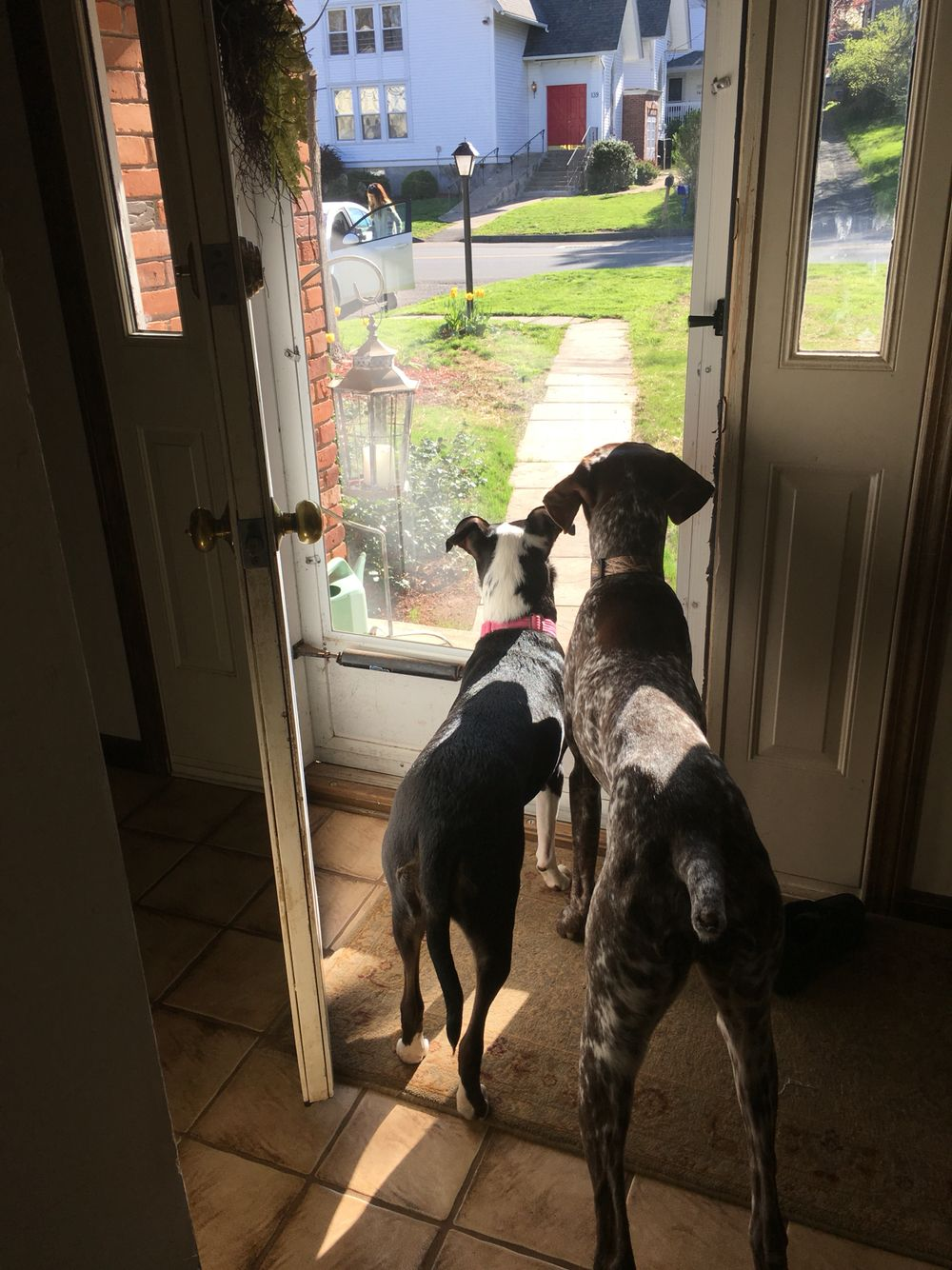 Puppy love, catahoula, catahoula cattle dog, catahoula leopard dog, southern dogs, gsp, German short haired pointer
