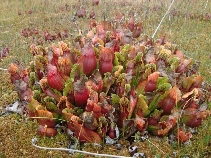 sarracenia seedlings | sarracenia plants - Holy cow it's huge!!! Look at all of those divisions!