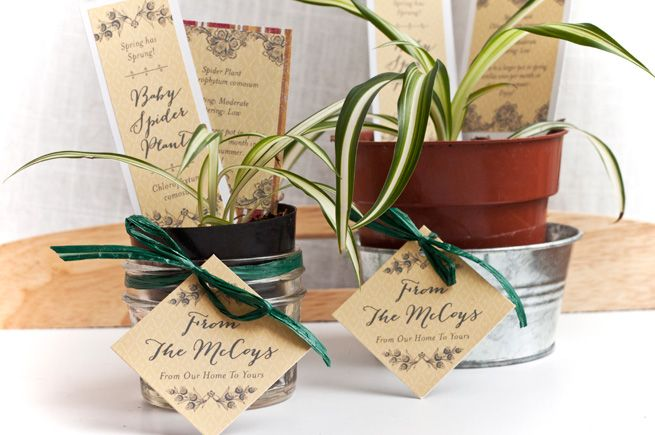 Baby Spider Plant Housewarming Gifts Spider Plants Plant