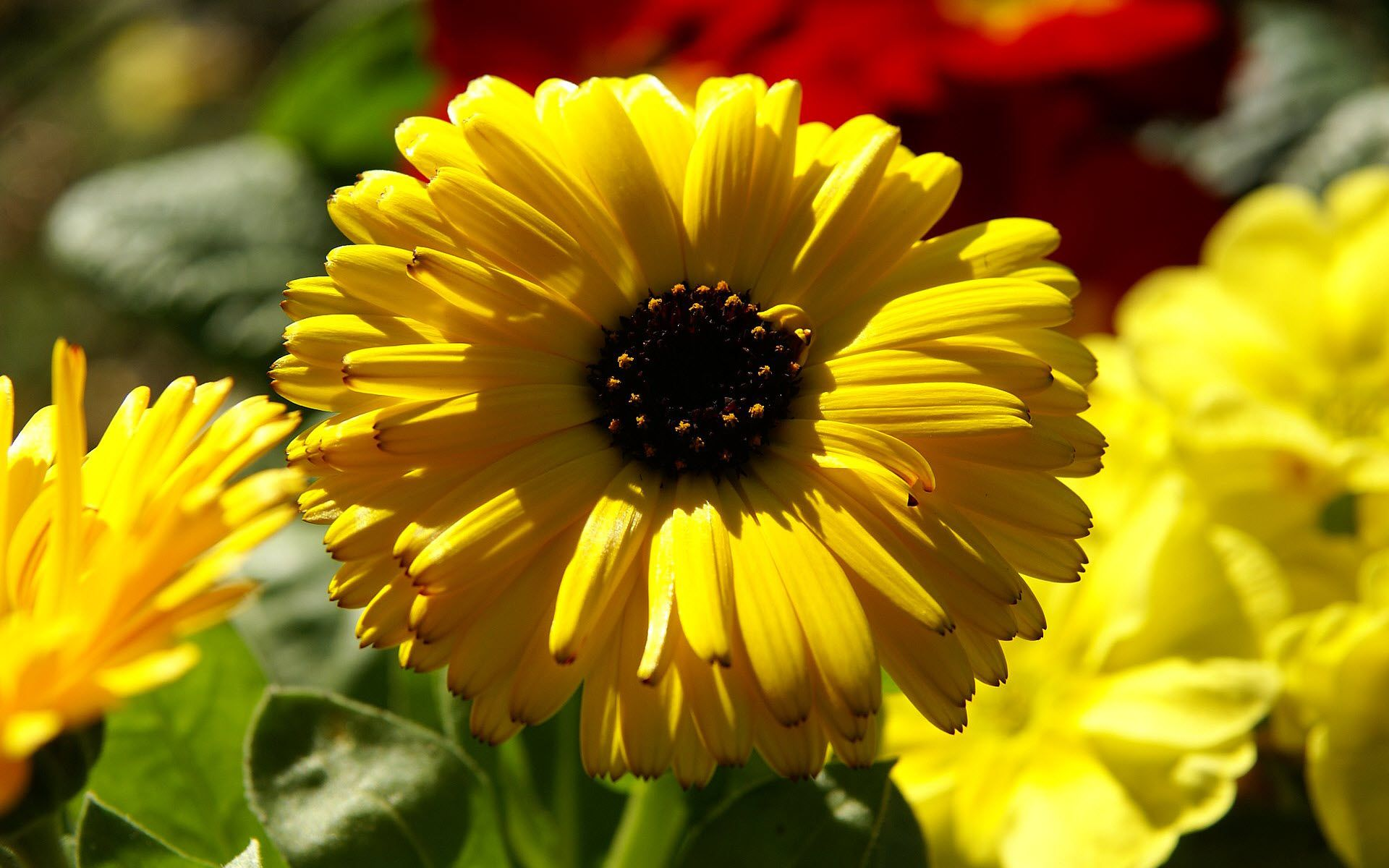yellow_calendula_pot_marigold-wide.jpg (1920×1200)
