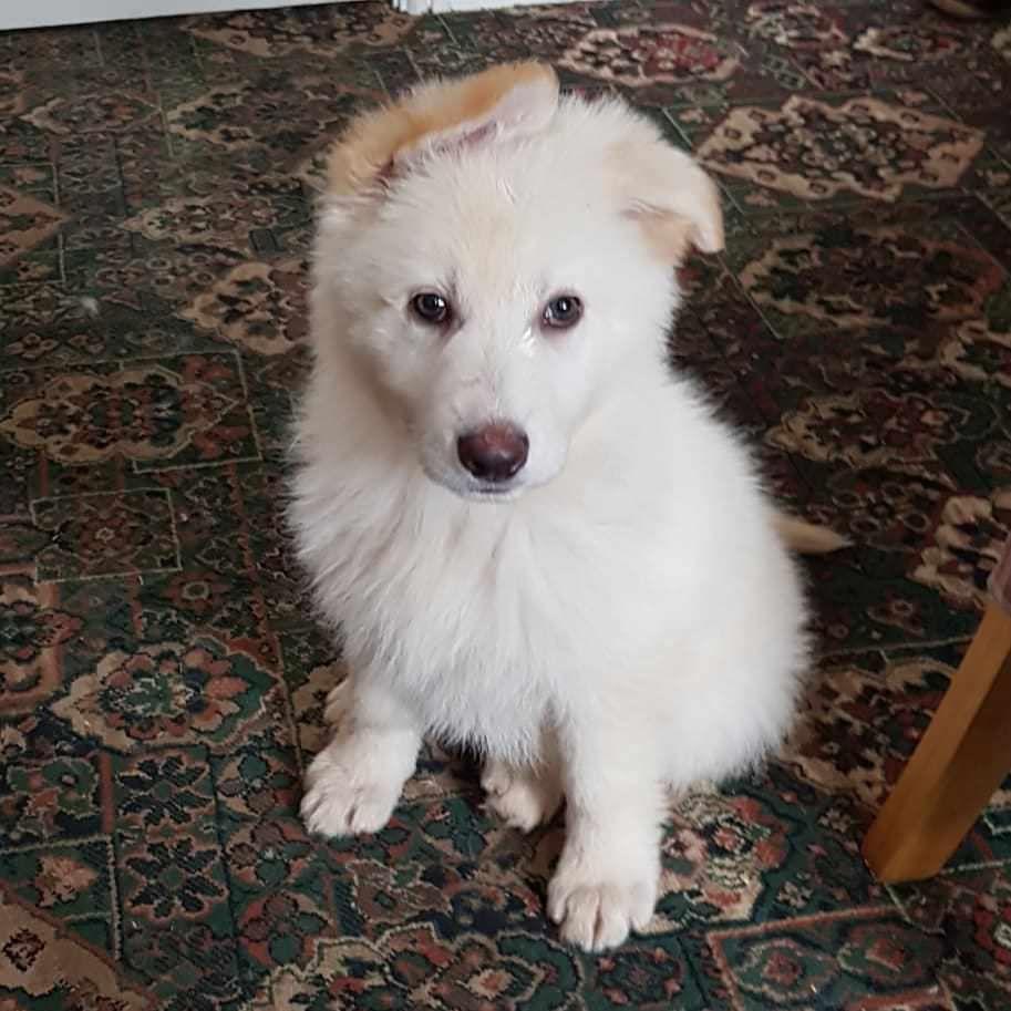 White german shepherd puppies for adoption