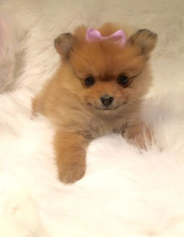 Tiny Teacup Teddy Doll Faced Pomeranian Puppies Ready Now Dogs