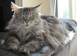 LOST/MISSING MALE MAINE COON (OLDCOLCHESTER RD) hide this