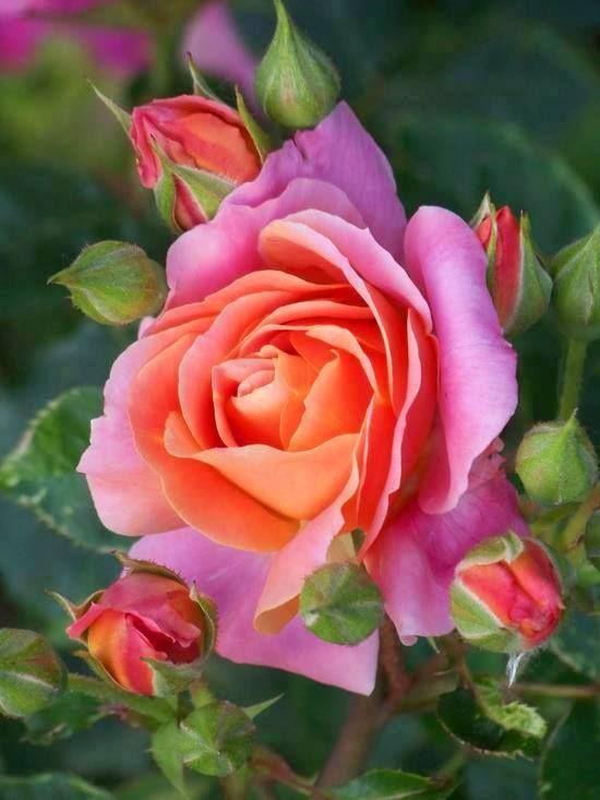 Diannemarieandre flowers pinterest flowers rose and rare flowers mightylinksfo