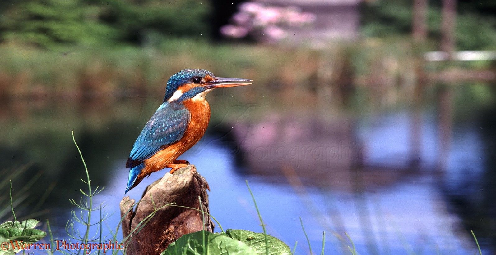 Image result for kingfisher Common kingfisher