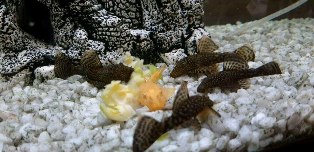 Bristlenose pleco catfish ancistrus tropical fish