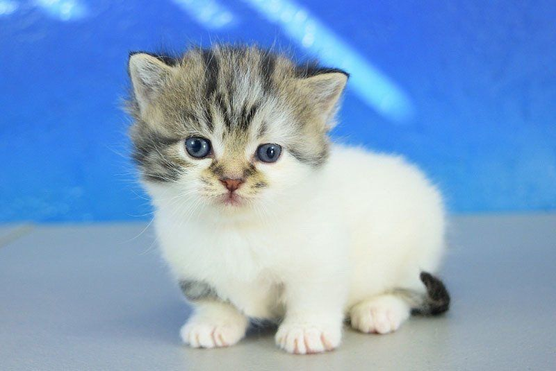 Bitsy Black Calico Van Bicolor Tabby Solid Female Teacup Ragamuffin Rughugger Kitten Cat Allergies Teacup Cats Angora Cats