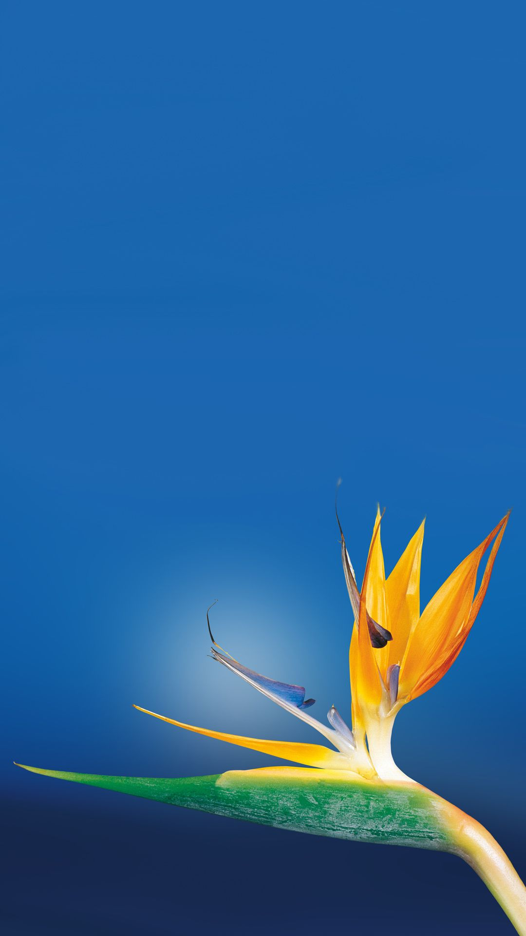 Bird Of Paradise Flower Close Up Iphone 8 Wallpapers With Images