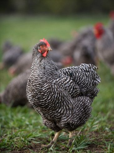 Plymouth Barred Rock Chickens, my wife says we can't have any chickens. Maybe a goat ?