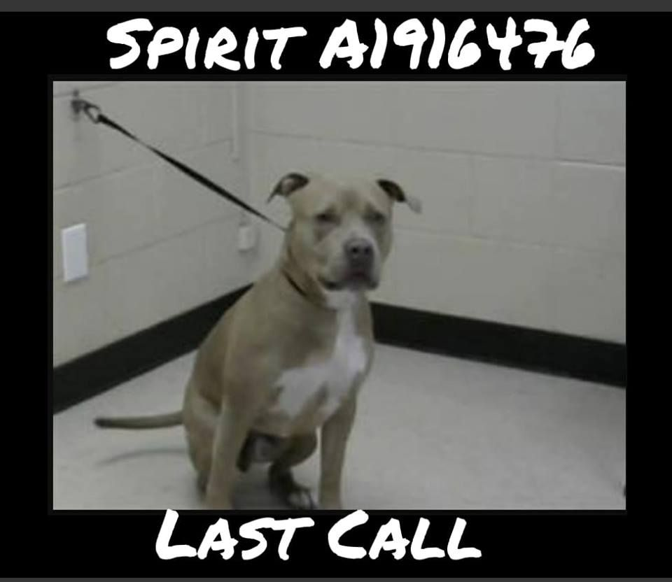 Last Call For Spirit A1916476 He Is On Euth List For 3 23 19 9am If You Can Save His Life Please Email Asap Rescuepet With Images Shelter Dogs Poor Dog Animal League