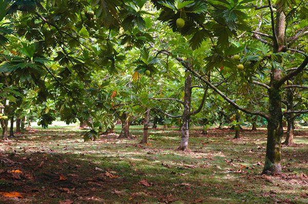 National Tropical Botanical Garden, Maui  Breadfruit Collection