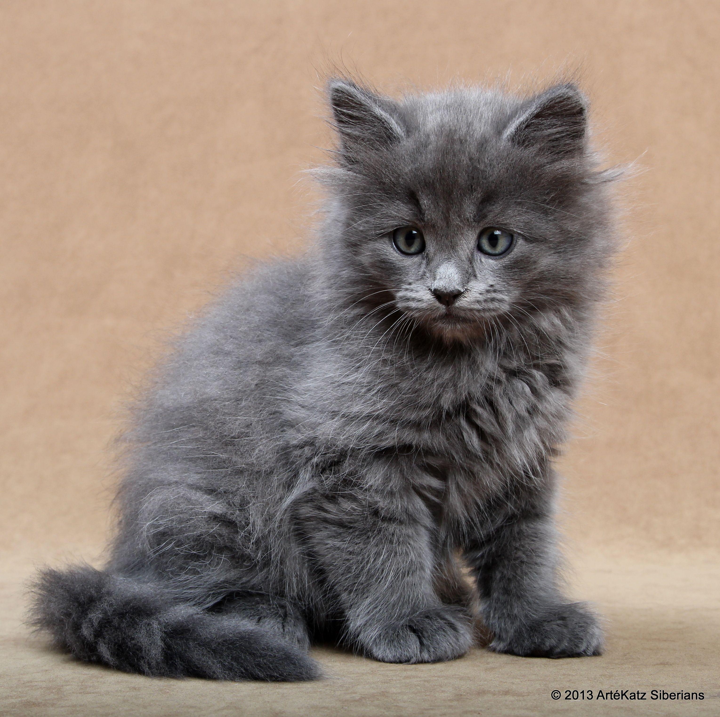 Eddie, my blue Siberian kitten