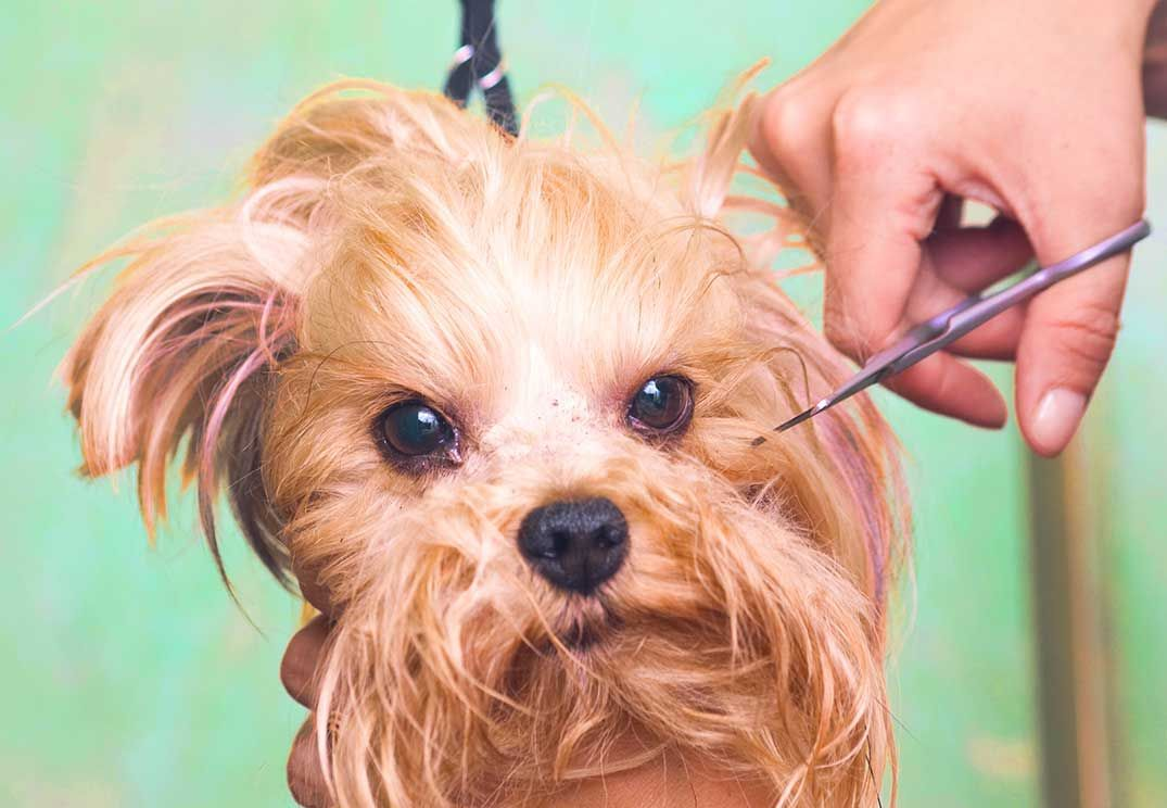 How to groom a morkie puppy and be good at it morkie